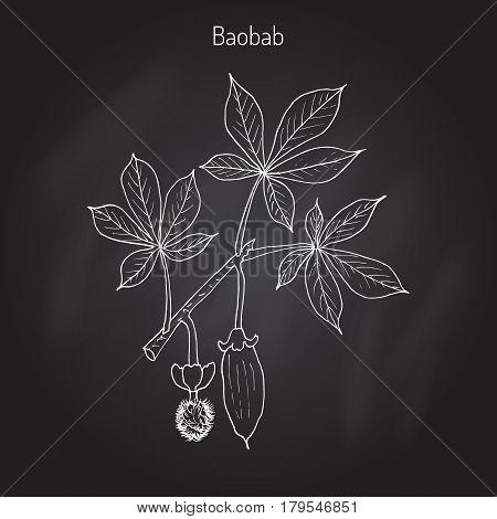 Baobab Adansonia digitata , or dead-rat tree, monkey-bread tree, upside-down, cream of tartar tree. Hand drawn botanical vector illustration.