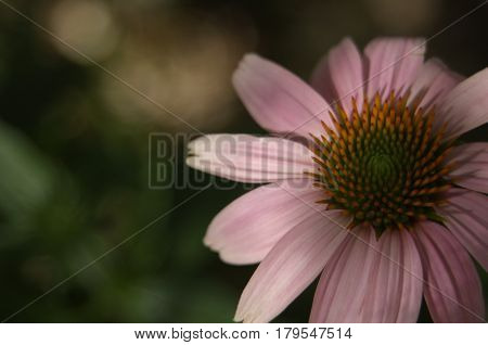 echinacea medicine, natural healing herb . sring time in texas