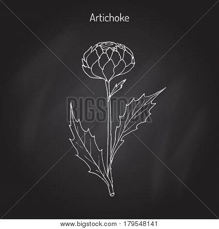 The cardoon Cynara cardunculus , or artichoke thistle, cardone, cardoni, carduni, cardi. Hand drawn botanical vector illustration