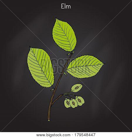 Field Elm Ulmus minor . Hand drawn botanical vector illustration