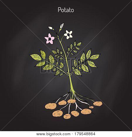 Potato plant Solanum tuberosum . Hand drawn botanical vector illustration