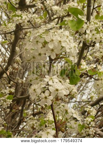 This is a close up view of spring blossoms with a cluster in the middle
