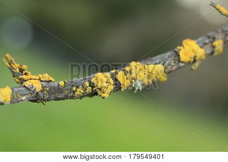 Golden yellow lichen seen up close on a twig at Thousand Oaks Park in San Jose