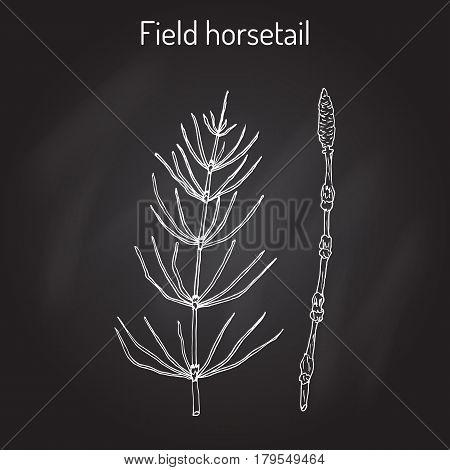Field Horsetail Equisetum arvense or Common Horsetail Hand drawn botanical vector illustration