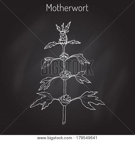 Motherwort Leonurus cardiaca , or throw-wort, lion s ear, lion s tail - medicinal plant. Hand drawn botanical vector illustration
