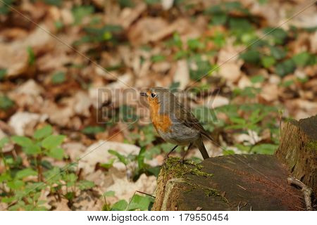 robin bird on forest background spring time