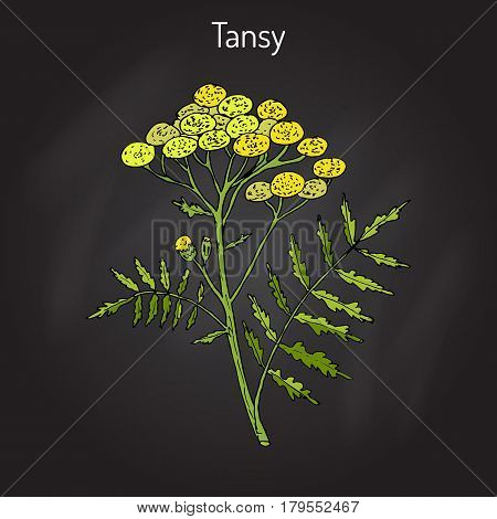 Tansy Tanacetum vulgare , or common tansy, bitter buttons, cow bitter, or golden buttons. Hand drawn botanical vector illustration