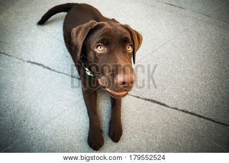 Chocolate Young Labrador Retriever Dog