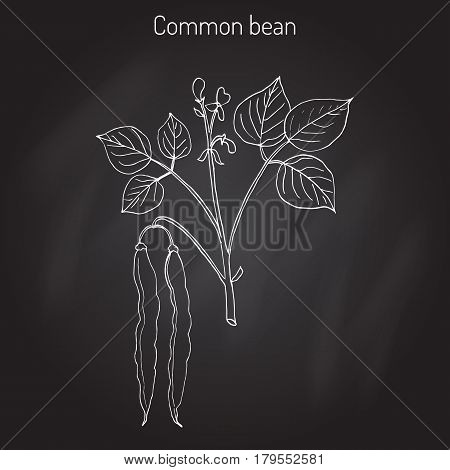 Common bean Phaseolus vulgaris , or string bean, field bean, flageolet bean, French bean, garden bean, green bean, haricot bean, pop bean, snap bean. Hand drawn botanical vector illustration