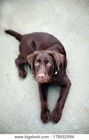 Chocolate Young Labrador Retriever Dog