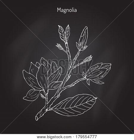 Blossom brunch of Magnolia Magnolia soulangeana , or saucer magnolia. Hand drawn botanical vector illustration