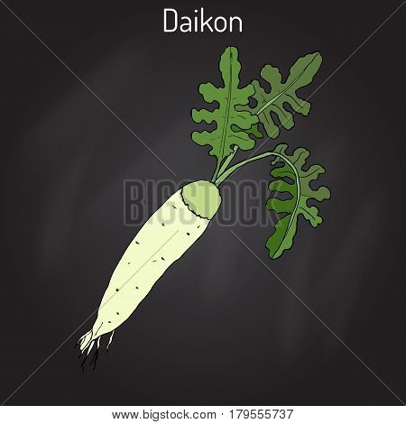 Daicon Raphanus sativus , or white radish, winter radish, oriental radish. Hand drawn botanical vector illustration
