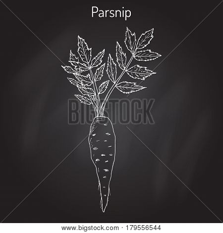 Parsnip pastinaca sativa , root vegetable, hand drawn vector botanical illustration poster