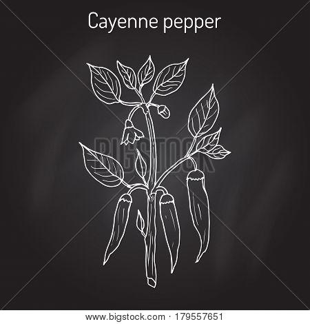 Chilli pepper Capsicum annuum , or cayenne pepper, cow-horn pepper, red hot chili pepper, aleva, bird pepper. Hand drawn botanical vector illustration
