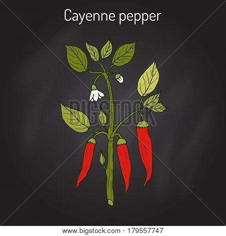 Chilli cayenne, cow-horn, red hot chili, bird pepper Capsicum annuum . Hand drawn botanical vector illustration
