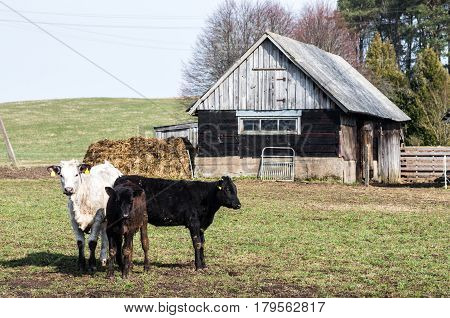 Standing several calves and abandoned buildings in the village.