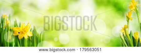 Bright green spring panorama background with daffodils and bokeh effects