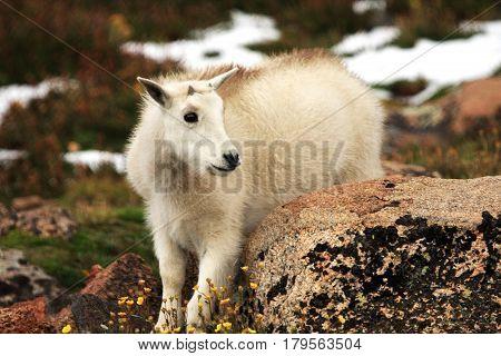 Baby Mountain Goat on Mt. Evans nBaby ear Denver Colorado