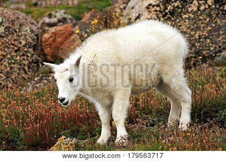 Baby Mountain Goat (oreamnos americanus) among the Rocks on Mt. Evans in Colorado