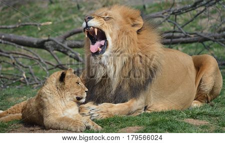 Male lion roaring with his young cub