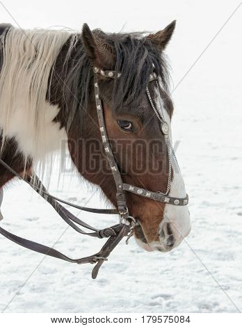 Portrait Of A Brown Horse Drawn Close Up