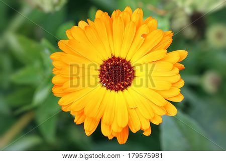 Detail of the bloom of the marigold - medicinal herb