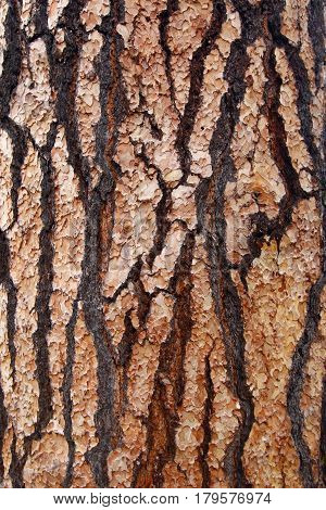 Detail of the scaly tree bark - nature texture