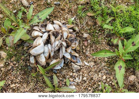 Detail of the shells of freshwater mussels