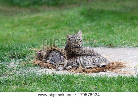 Lying cat with sleeping kittens - tired cats