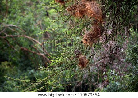 Tree with bird nests in Tsavo East Park in Kenya