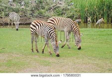 zebra feeding grass on ground in field