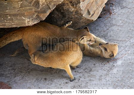 Three meerkat resting and play under a rock.
