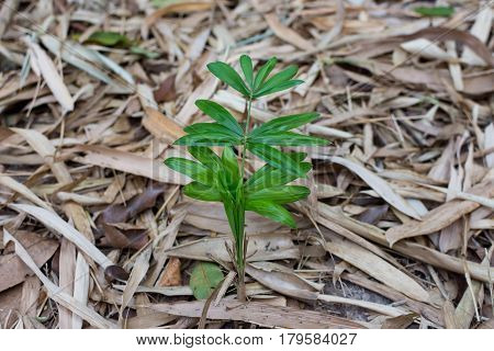 Small Rattan Tree With Dry Leaf Bamboo Background.