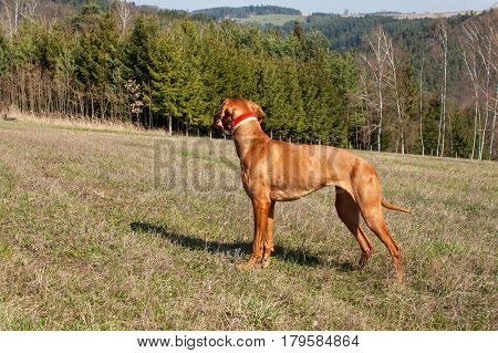 Hungarian hound hunting. Hunting dog Viszla. A spring day