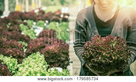 Woman hand catches salad. lettuce garden. Fresh from the garden. Red Lettuce Isolated