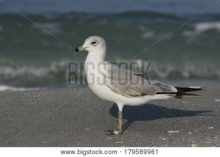 A Ring-Billed Gull, Larus delawarensis on a beach in Florida