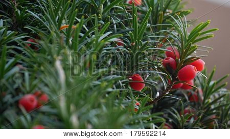 close up of yew tree with berries