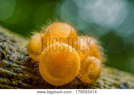 Hairy fungi in tropical forest in Thailand.
