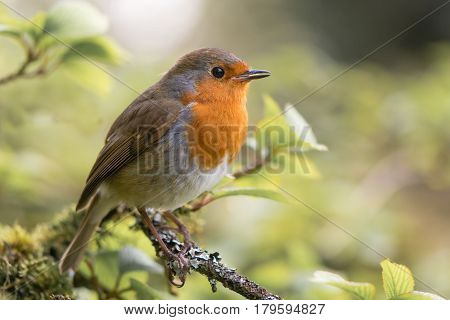 Robin (Erithacus rubecula) singing on branch. Bird in family Turdidae with beak open in profile making evening song in parkland in UK
