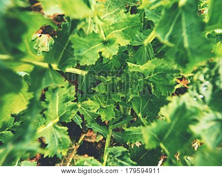 Upper Detail Of Young Oilseed Rape In Field. Fresh Green Colors Of Flowers. Oilseed Rapeseed