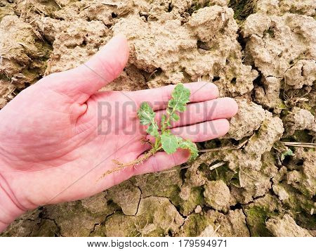 Farmer Check Quality Of Flower Rapeseed In Spring Field. Leaves, Stalk And Roots Of Young Rapeseed (