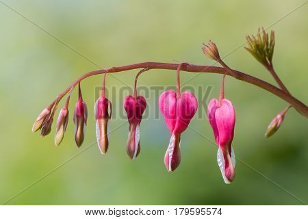 Bleeding heart (Lamprocapnos spectabilis) flowers. Raceme of pink and white flowers of plant in the poppy family (Papaveraceae) aka Asian bleeding-heart and lyre flower