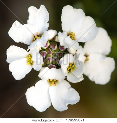 Alpine candytuft (Iberis saxatalis) corymb of flowers. White flowering shrubby plant native to the Mediterranean in the family Cruciferae aka rock candytuft
