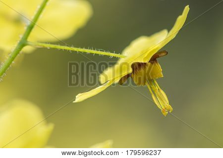 Epimedium x versicolor 'Sulphureum' detail of flower. Pale yellow flowers of shade tolerant plant in the family Berberidaceae flowering in Bath Botanic Garden