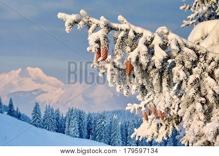 Fir branch heavily covered with fresh snow on blue sky and mountains background.  Subpolar Urals, Russia