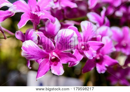 Pink Dendrobium Orchid.