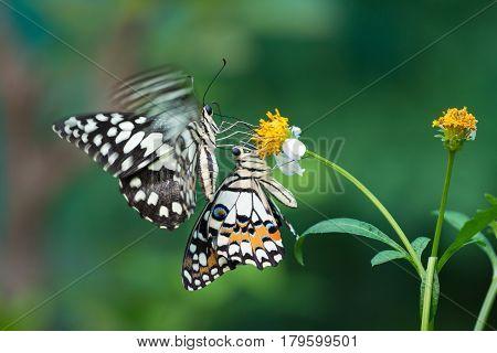 A butterfly feeding on Bidens pilosa flower in sunshine
