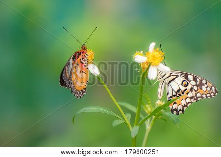 Couple butterfly feeding on Bidens pilosa flower in sunshine