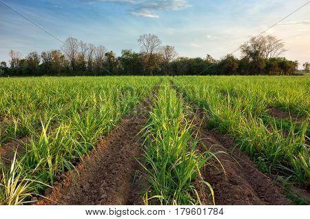 Sugarcane Plant, Field With Spring Sky Landscape.