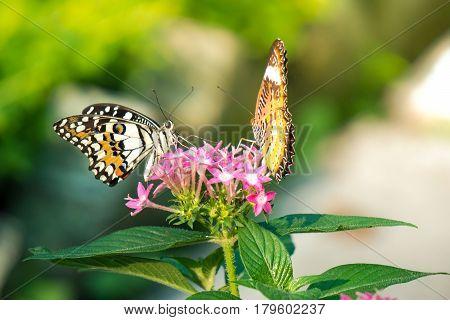 Couple butterfly feeding on ixora flower in a summer garden